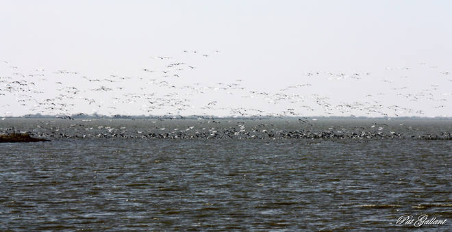 Snow Geese Galore Whitewater, Manitoba Canada
