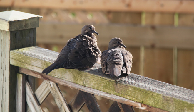 Mourning Doves Cornwall, Ontario Canada