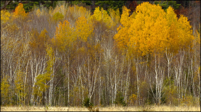 Sherriff Creek red trail, field birches. Elliot Lake, Ontario Canada