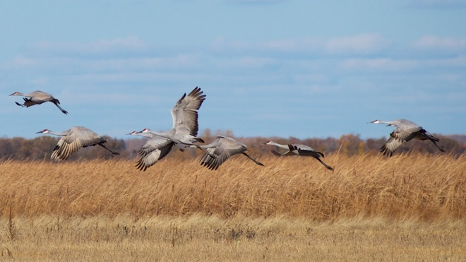 Sandhill Cranes in the fall Ninette, Manitoba Canada