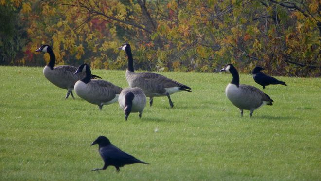 Geese and Crows in the Park Moncton, New Brunswick Canada