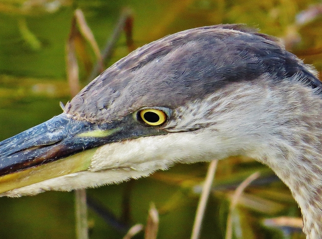 Great Blue Heron's weathered face. North Bay, Ontario Canada