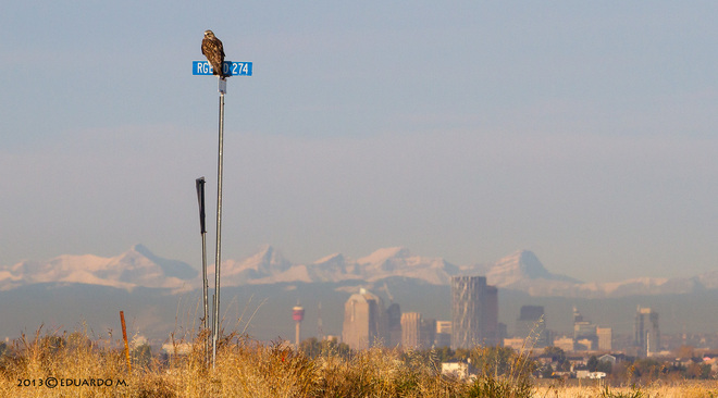 A Hawk, a downtown and mountains Chestermere, Alberta Canada