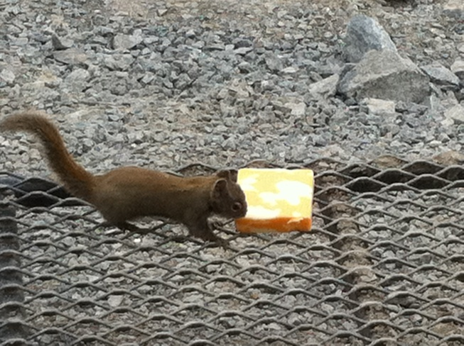 squirrel vs. block of cheese Whiskeyjack, Manitoba Canada