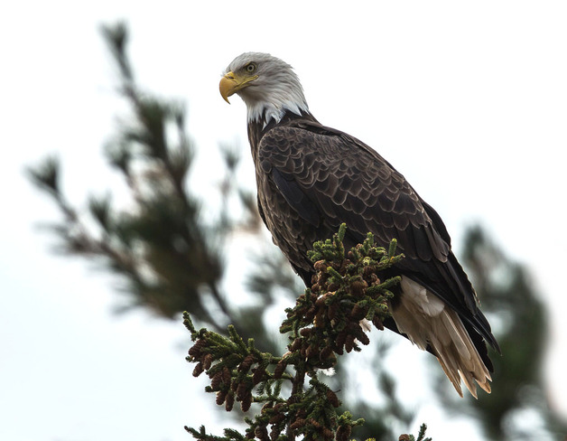 Up Close - Eagle Wallace, Nova Scotia Canada