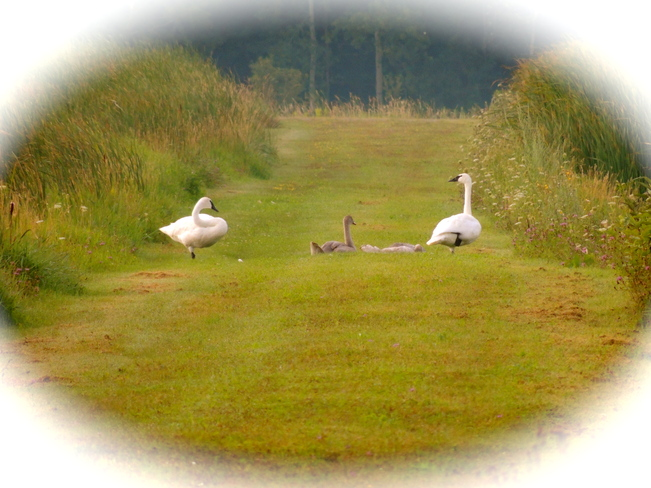 Noteworthy Trumpeter Swans Port Perry, Ontario Canada