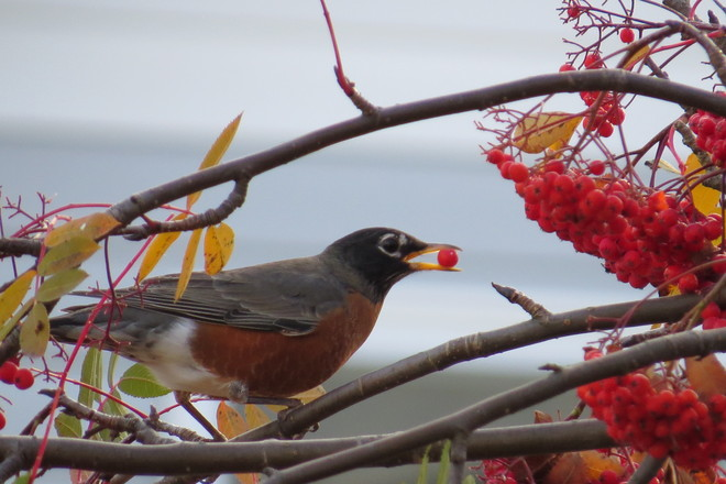 Hungry robin Timmins, Ontario Canada