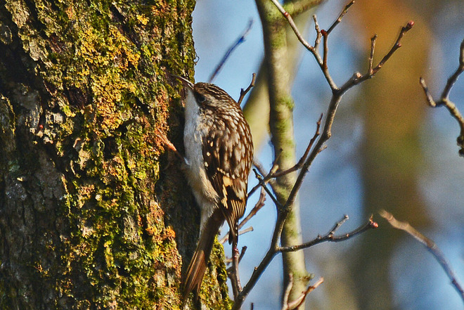 Brown Creeper Whitby, Ontario Canada