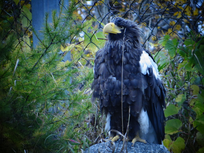 Steller's Sea Eagle Winnipeg, Manitoba Canada