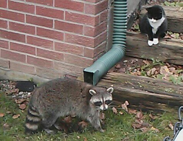 who says racoons and cats cant be friends Brampton, Ontario Canada