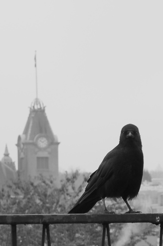 Crow Visit on a Foggy Day Vancouver, British Columbia Canada
