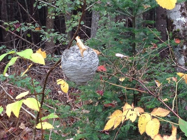 Wasp Nest Lower Sackville, Nova Scotia Canada