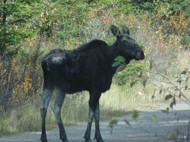 moose close encounter Saint Martins, New Brunswick Canada