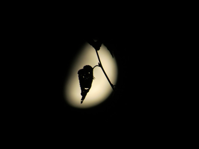 Mosquitoes resting on a leaf in the moonlight. Hanmer, Ontario Canada