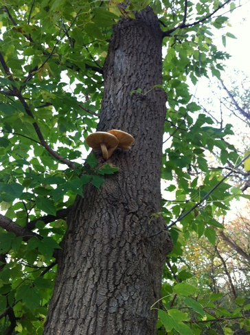 mushroom on the tree Ottawa, Ontario Canada