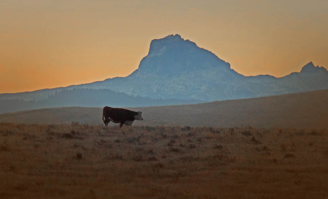 Lonely Cow - Lonely Mountain Lethbridge, Alberta Canada