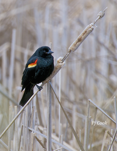 Red Wing Blackbird Pickering, Ontario Canada