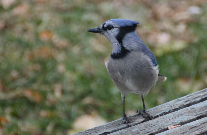 Mr. Blue Jay Dalmeny, Saskatchewan Canada