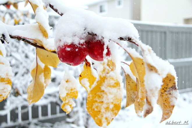 freezing little sweet apples Calgary, Alberta Canada