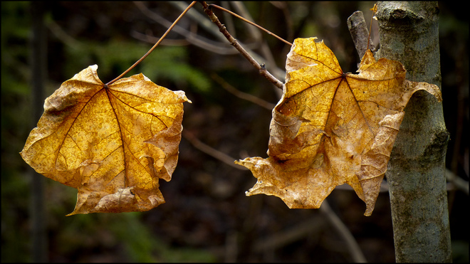 Sherriff Creek red trail, two dead leaves. Elliot Lake, Ontario Canada