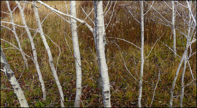 Sherriff Creek red trail grove of small birches. Elliot Lake, Ontario Canada