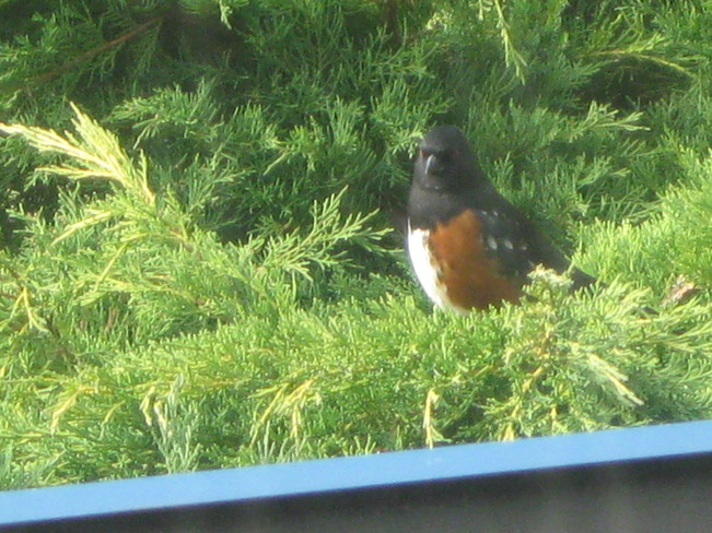 spotted towhee having a siesta... Surrey, British Columbia Canada