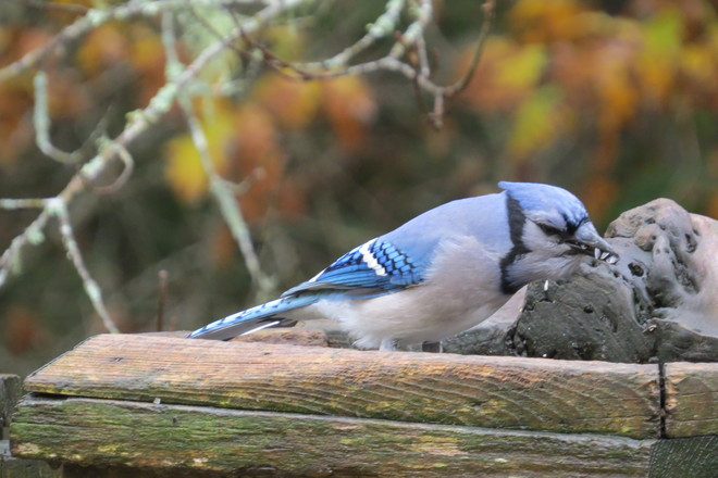 Blue Jay (Cyanocitta cristata) In Action Chester, Nova Scotia Canada