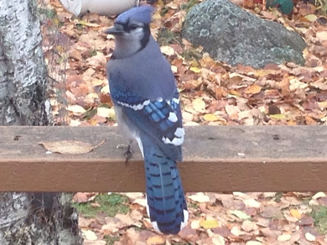 BBJ (Beautifull Blue Jay) Rennie, Manitoba Canada