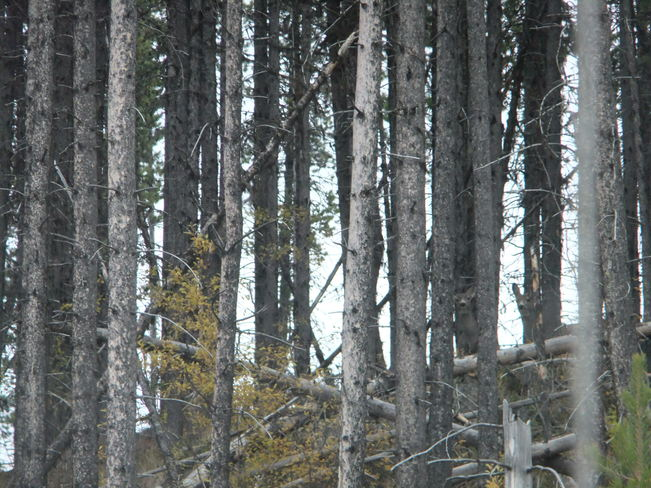 deer in the trees Fauquier, British Columbia Canada