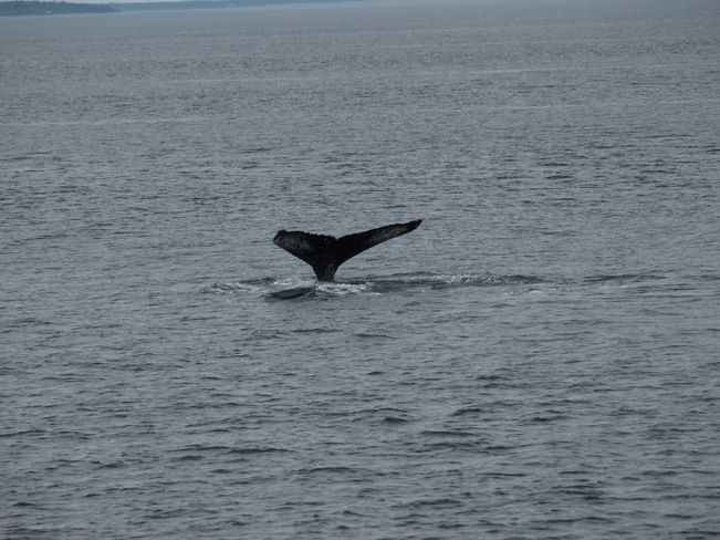 Humpbacks at Tadoussac Tadoussac, Quebec Canada