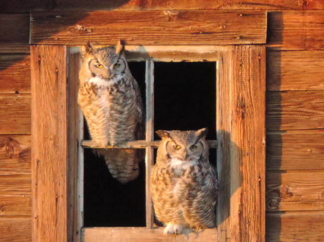 Great Horned Owls Champion, Alberta Canada