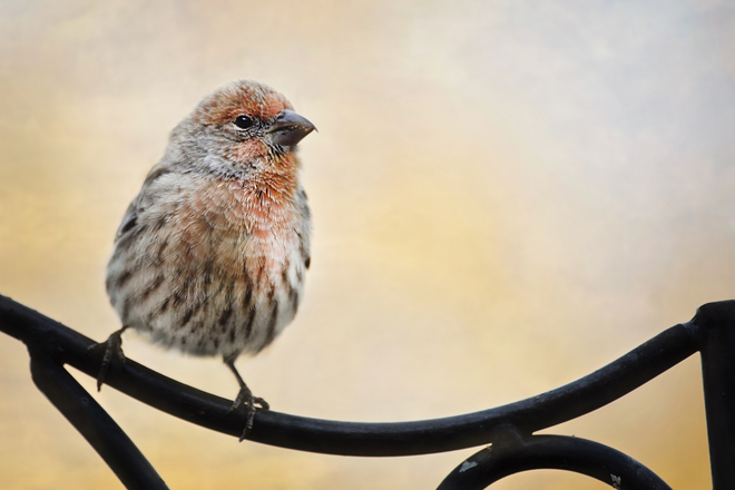 House Finch Strathmore, Alberta Canada