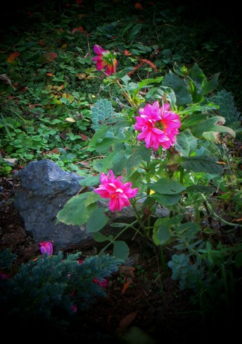 Oct. 31st - Flowers still growing here Victoria, British Columbia Canada