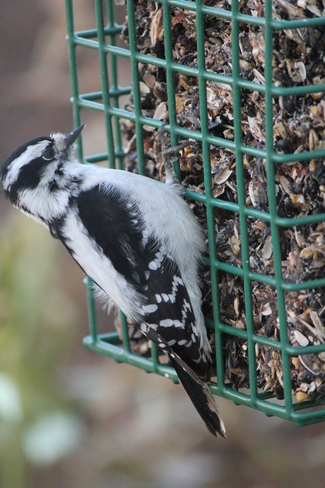 woodpecker Vanscoy, Saskatchewan Canada