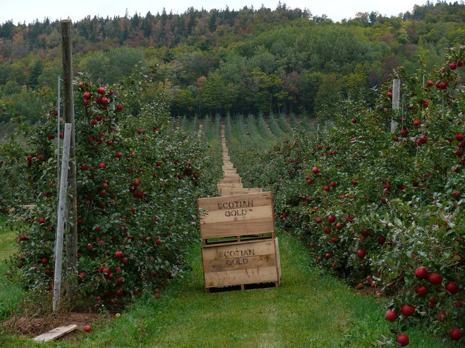 Apple orchard Canning, Nova Scotia Canada