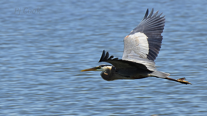 Heron in flight.. Pickering, Ontario Canada