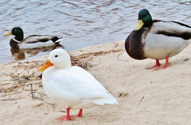 'Whitey' the duck returns to the beach. North Bay, Ontario Canada