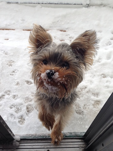 Yorkie Fun! Red Deer, Alberta Canada
