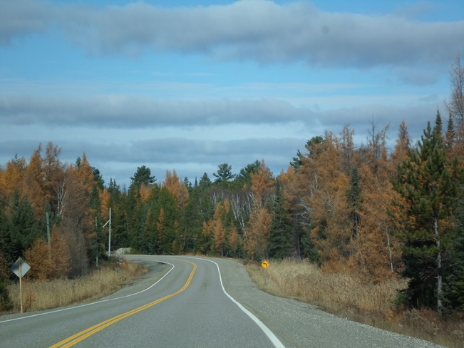 Tammarec trees are all brown now Elliot Lake, Ontario Canada