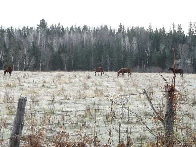 Horses Enjoing The Frosty Day Massey, Ontario Canada