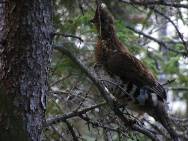 Grouse In A Tree Birchy Bay, Newfoundland and Labrador Canada