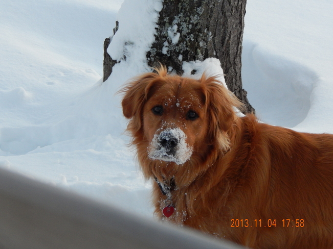 Duke Playing In The Snow Rocky Mountain House, Alberta Canada