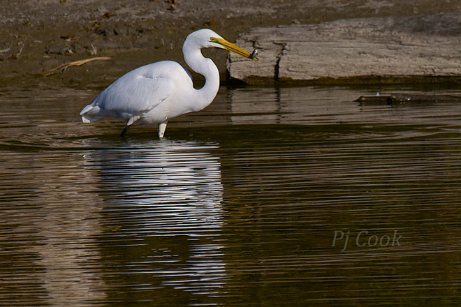 Egret... Scarborough, Ontario Canada