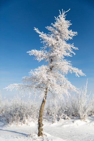 Snow covered tree Unity, Saskatchewan Canada