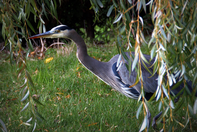 GBH Under The Willow Tree Delta, British Columbia Canada