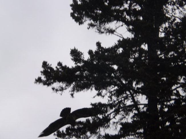 EAGLE FLYING AROUND CHIPPEWA PARK Thunder Bay, Ontario Canada