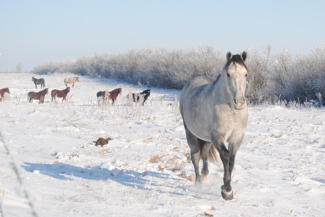 WHITE HORSE WHITE SNOW Reward, Saskatchewan Canada