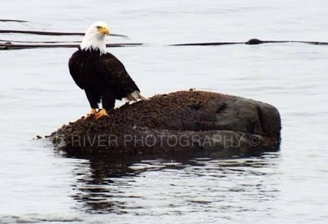 eagle Campbell River, British Columbia Canada