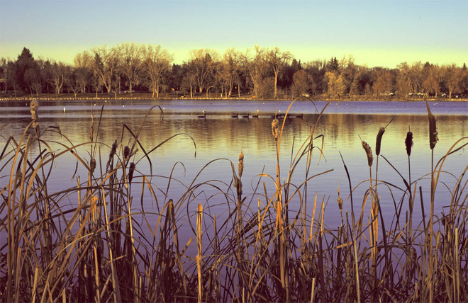 Water Birds and Cat Tails Lethbridge, Alberta Canada