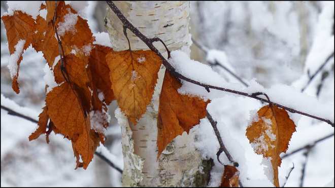 Snow covered leaves, Esten Dr. Elliot Lake, Ontario Canada